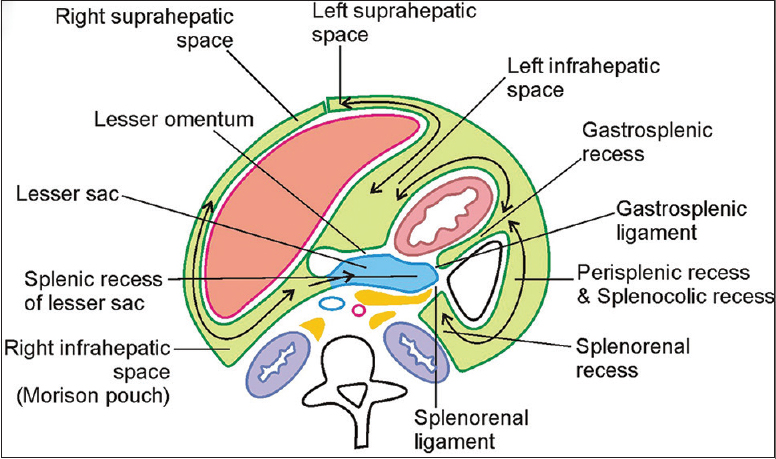 Stomach And Spleen Location